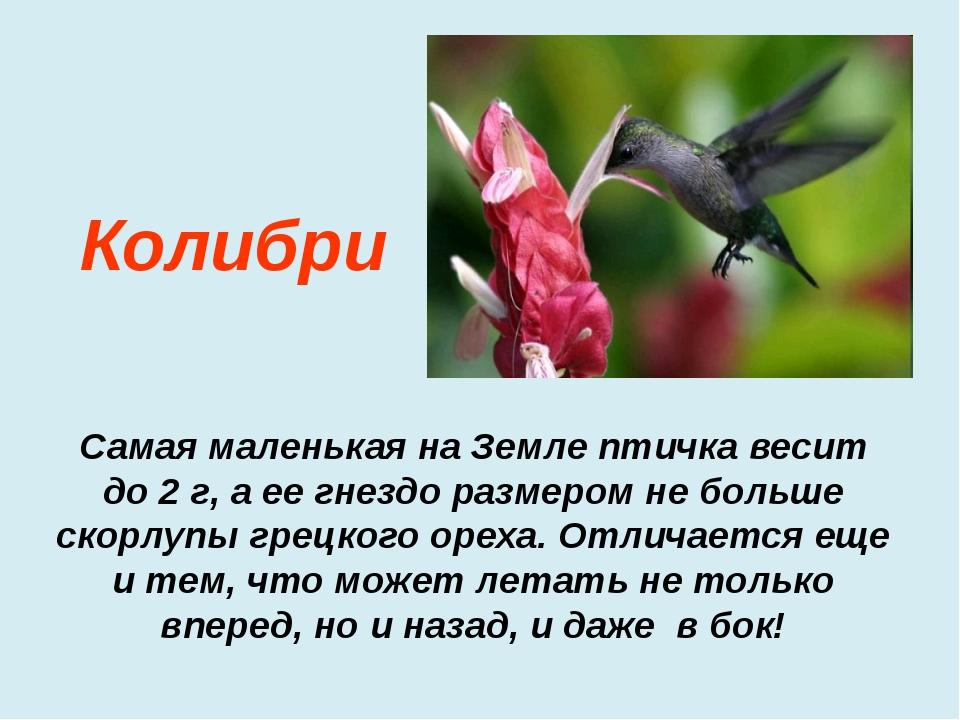 Самая маленькая на Земле птичка весит до 2 г, а ее гнездо размером не больше...