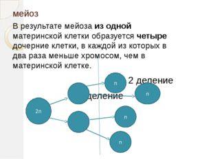 мейоз В результате мейоза из одной материнской клетки образуется четыре дочер