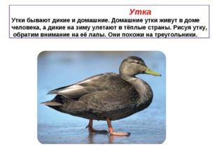 Утка Утки бывают дикие и домашние. Домашние утки живут в доме человека, а ди