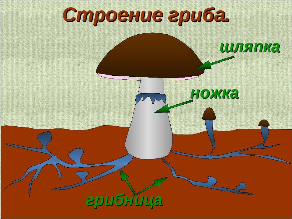 шляпка грибница ножка Строение гриба.