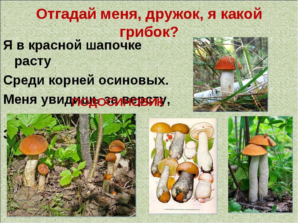 Отгадай меня, дружок, я какой грибок? Я в красной шапочке расту Среди корней...