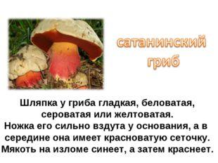 Шляпка у гриба гладкая, беловатая, сероватая или желтоватая. Ножка его сильно
