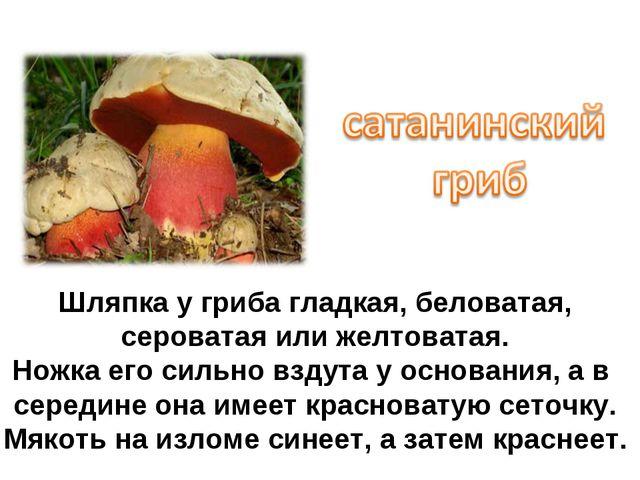 Шляпка у гриба гладкая, беловатая, сероватая или желтоватая. Ножка его сильно...