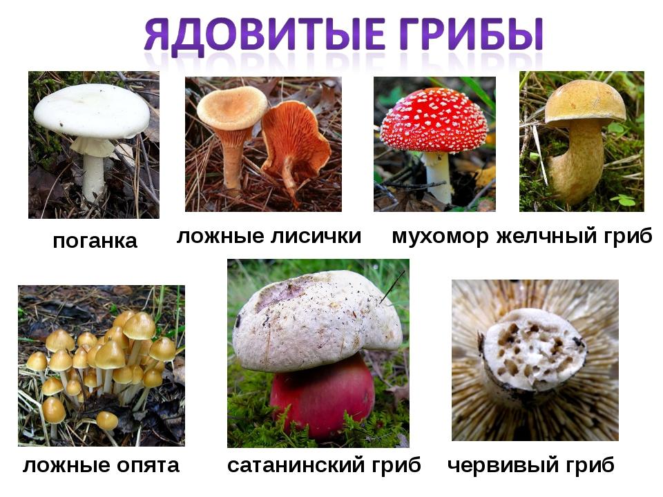 поганка червивый гриб мухомор ложные лисички желчный гриб сатанинский гриб ло...