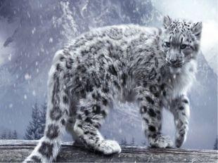 Снежный барс, или ирбис.