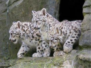 Снежный барс, или ирбис. Снежный барс не леопард, хотя и похож на него. Таки