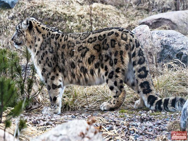Снежный барс, или ирбис. Снежный барс не леопард, хотя и похож на него. Таки...