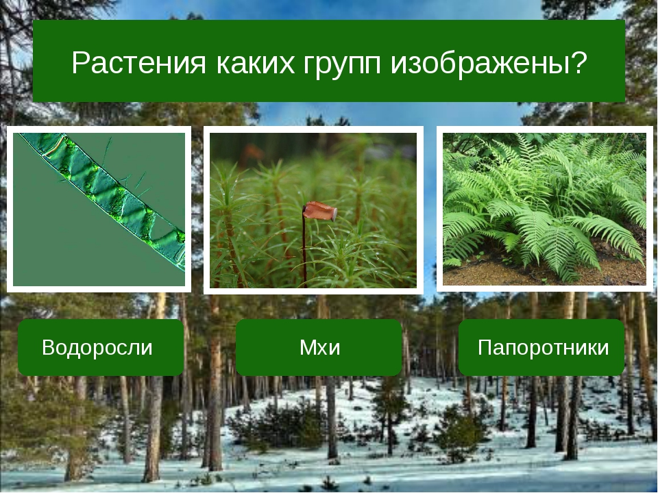 Растения каких групп изображены? Водоросли Мхи Папоротники