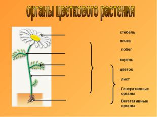 почка стебель побег корень цветок лист Генеративные органы Вегетативные органы