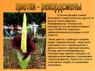 В Бонне расцвёл самый большой из самых вонючих цветов. В высоту Титан Арум и