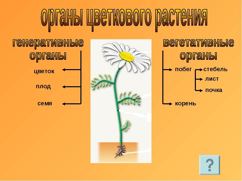 цветок плод семя побег корень стебель лист почка
