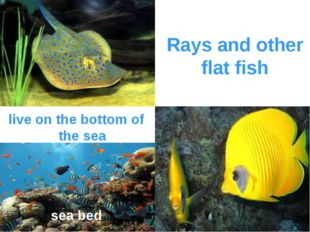 Rays and other flat fish live on the bottom of the sea sea bed