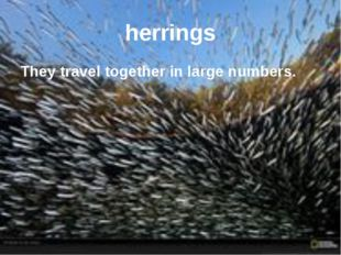 herrings They travel together in large numbers.