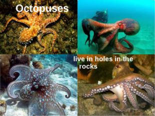 Octopuses live in holes in the rocks