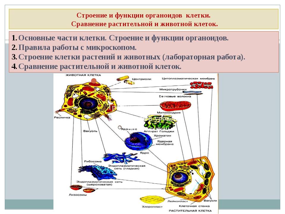 Строение и функции органоидов клетки. Сравнение растительной и животной клето...