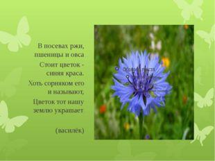 В посевах ржи, пшеницы и овса Стоит цветок - синяя краса. Хоть сорняком его
