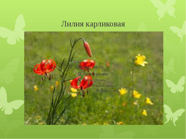 Лилия карликовая