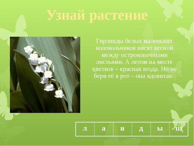 Узнай растение Гирлянды белых маленьких колокольчиков висят весной между остр...