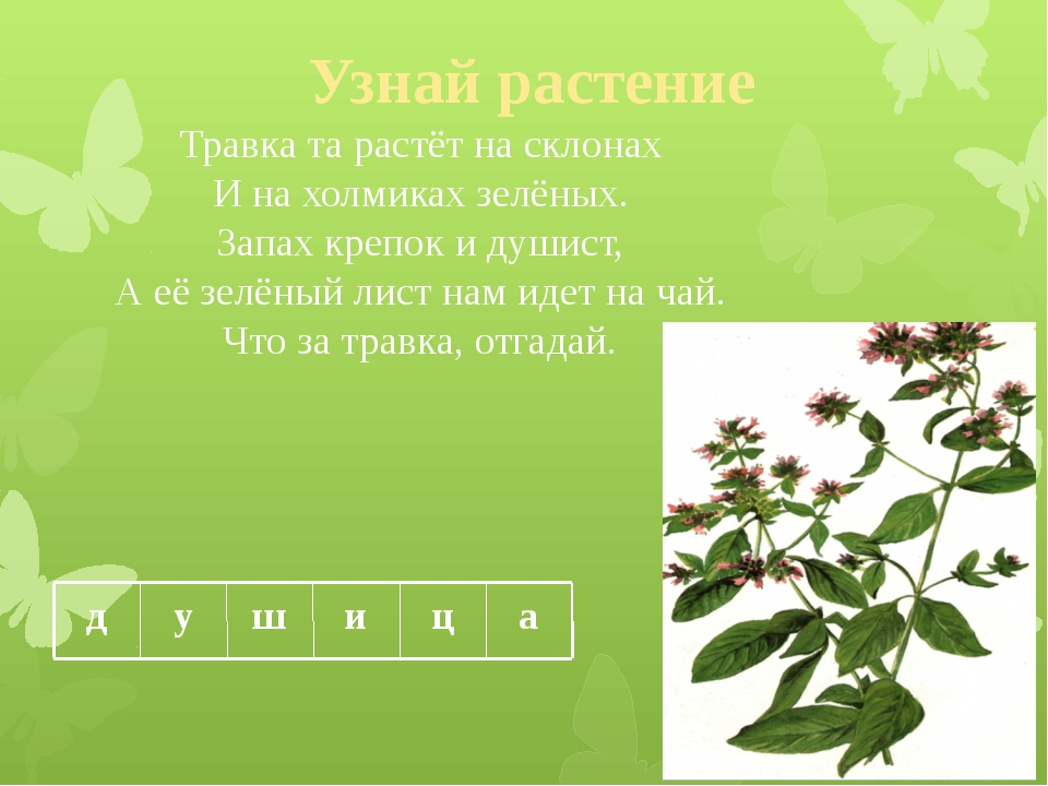 Узнай растение Травка та растёт на склонах И на холмиках зелёных. Запах крепо...