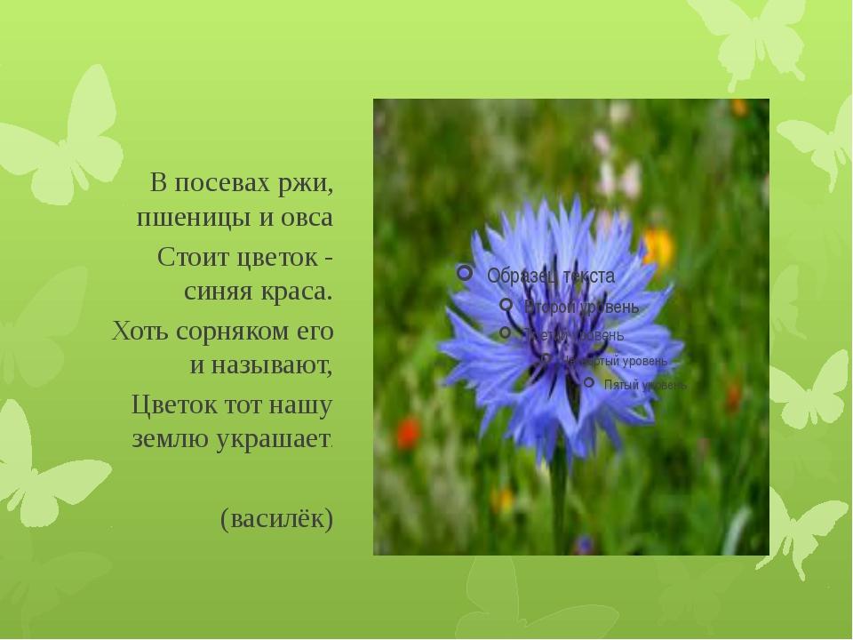 В посевах ржи, пшеницы и овса Стоит цветок - синяя краса. Хоть сорняком его...