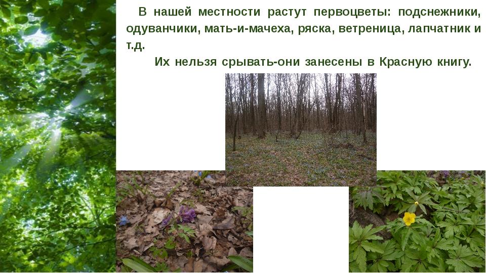 В нашей местности растут первоцветы: подснежники, одуванчики, мать-и-мачеха,...