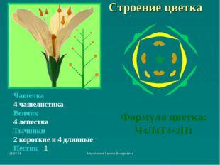 * Мерзликина Галина Валерьевна Строение цветка Чашечка 4 чашелистика Венчик 4