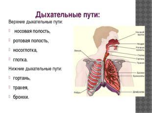 Дыхательные пути: Верхние дыхательные пути: носовая полость, ротовая полост
