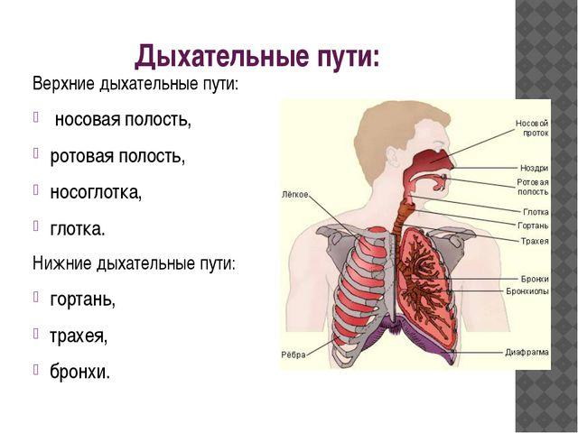 Дыхательные пути: Верхние дыхательные пути: носовая полость, ротовая полост...