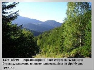 1200 -1500м - середньогірний пояс смерекових, ялицево-букових, ялицевих, ялин