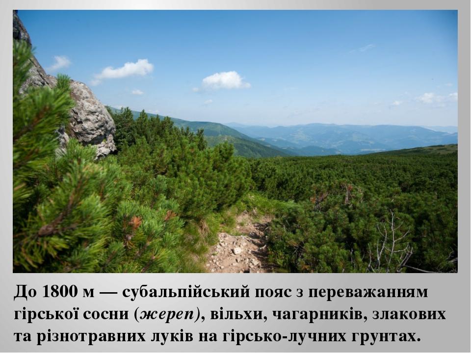 До 1800 м — субальпійський пояс з переважанням гірської сосни (жереп), вільхи...