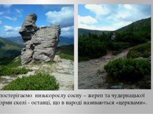 Спостерігаємо низькорослу сосну – жереп та чудернацької форми скелі - останці