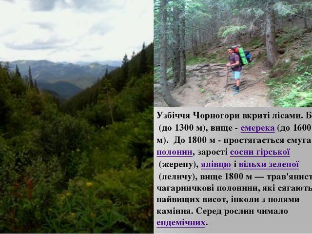 Узбіччя Чорногори вкриті лісами. Бук(до 1300 м), вище -смерека(до 1600 м)....