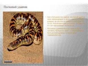 Песчаный удавчик Как и большинство удавов, песчаный удавчик змея живородящая: