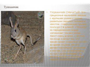 Тушканчик ТУШКАНЧИК СУМЧАТЫЙ- Это грациозные маленькие зверьки с крупными уша