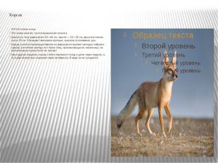 Корсак КОРСАК степная лисица. Это очень мелкая, тусклоокрашенная лисичка. Дли