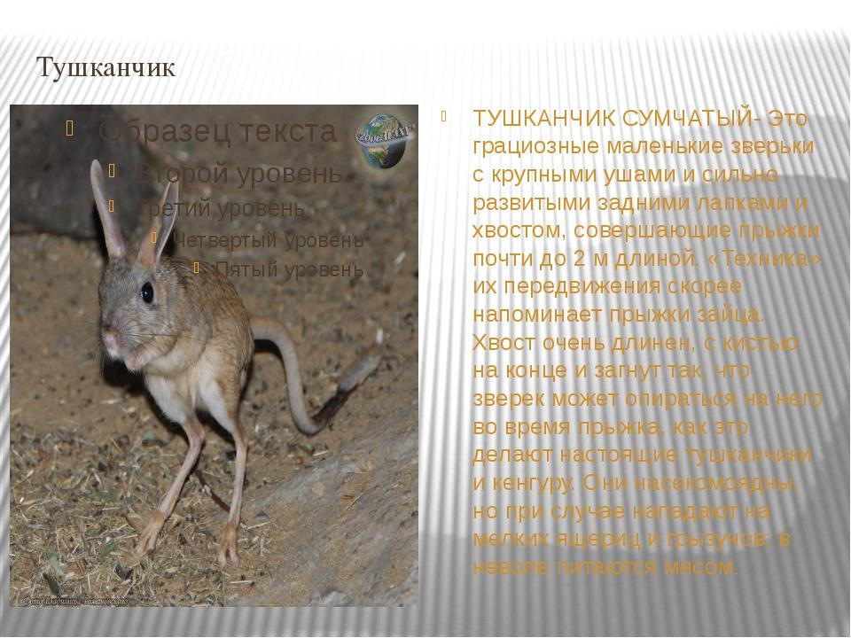 Тушканчик ТУШКАНЧИК СУМЧАТЫЙ- Это грациозные маленькие зверьки с крупными уша...