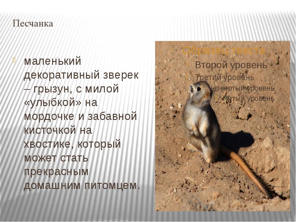 Песчанка маленький декоративный зверек – грызун, с милой «улыбкой» на мордочк...