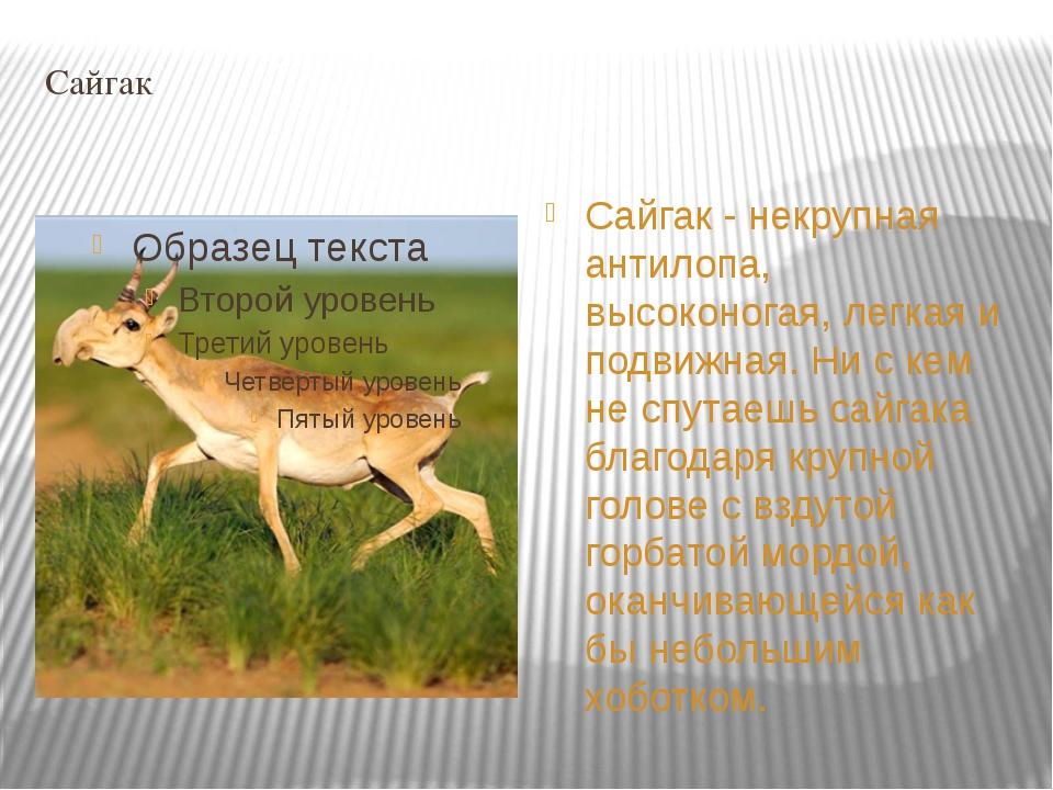 Сайгак Cайгак - некрупная антилопа, высоконогая, легкая и подвижная. Ни с кем...