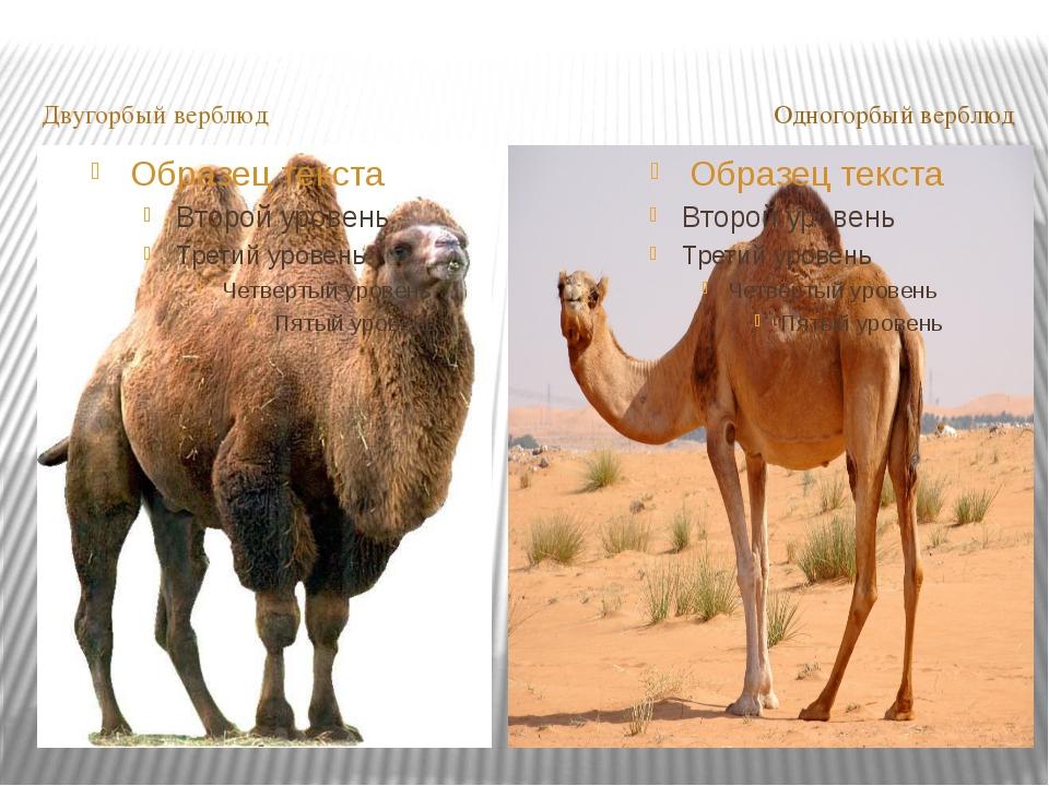 Двугорбый верблюд Одногорбый верблюд