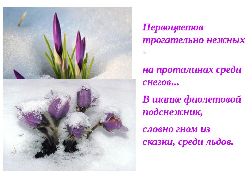 Первоцветов трогательно нежных - на проталинах среди снегов... В шапке фиолет...
