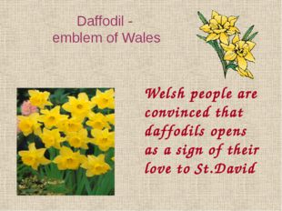 Welsh people are convinced that daffodils opens as a sign of their love to St
