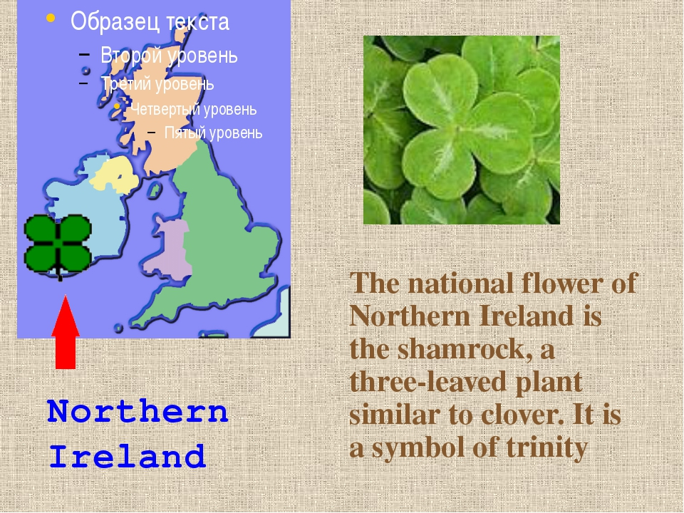 The national flower of Northern Ireland is the shamrock, a three-leaved plant...