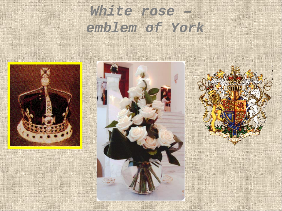 White rose – emblem of York