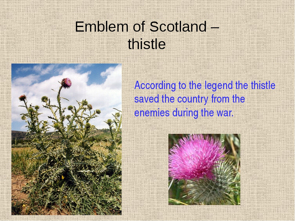 Emblem of Scotland – thistle According to the legend the thistle saved the co...