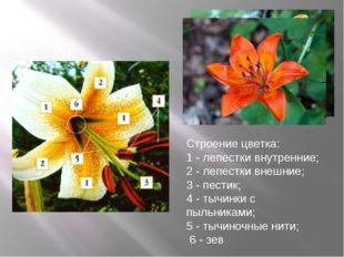 Строение цветка: 1 - лепестки внутренние; 2 - лепестки внешние; 3 - пестик; 4