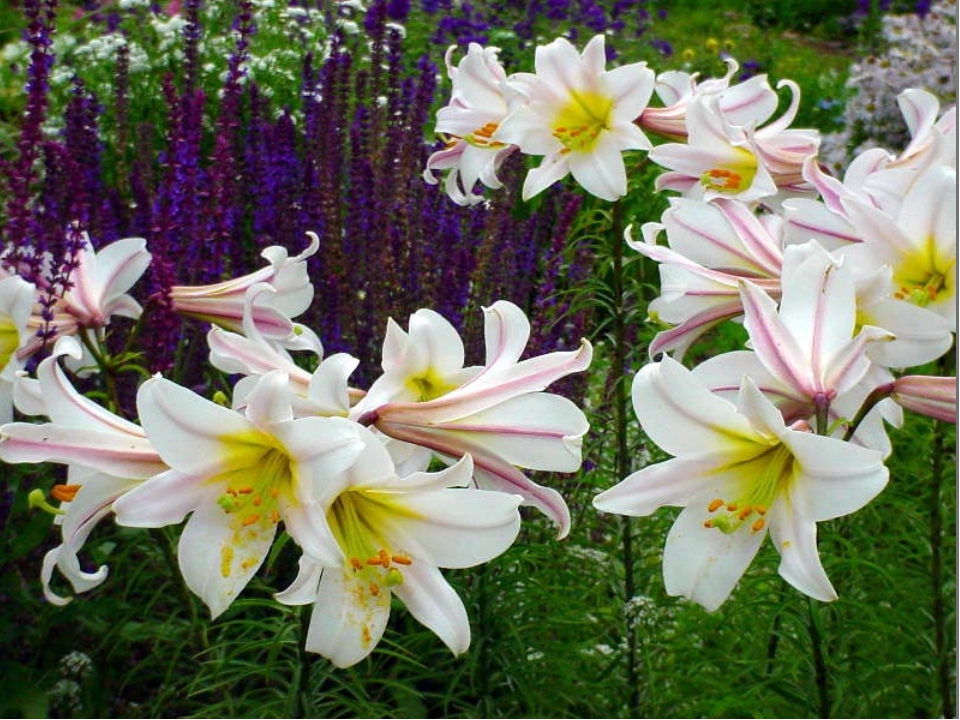 Некоторые кавказские лилии могут под влиянием дождя желтеть или краснеть, и п...