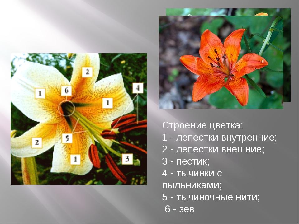 Строение цветка: 1 - лепестки внутренние; 2 - лепестки внешние; 3 - пестик; 4...