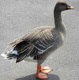 bean-goose