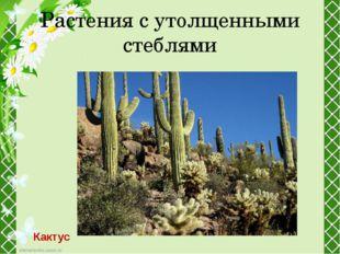 Растения с утолщенными стеблями Кактус