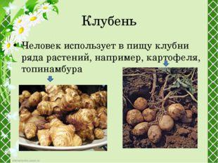Клубень Человек использует в пищу клубни ряда растений, например,картофеля,